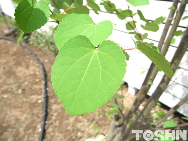 ハート型のカツラの葉っぱ アップ