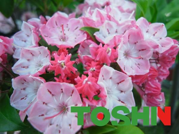 カルミア(別名アメリカシャクナゲ)の花が満開