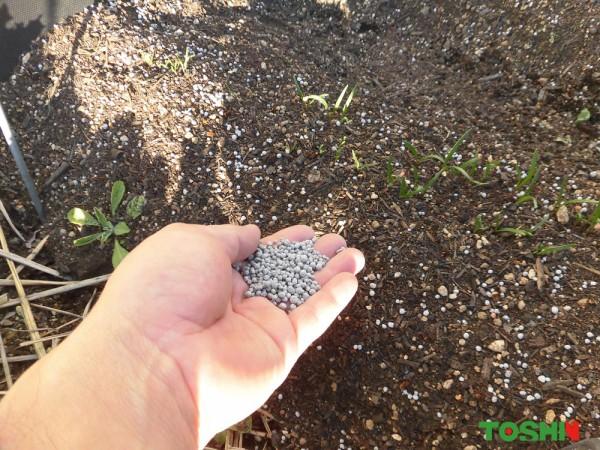 ベジトラグでこの時期高価なレタスを栽培