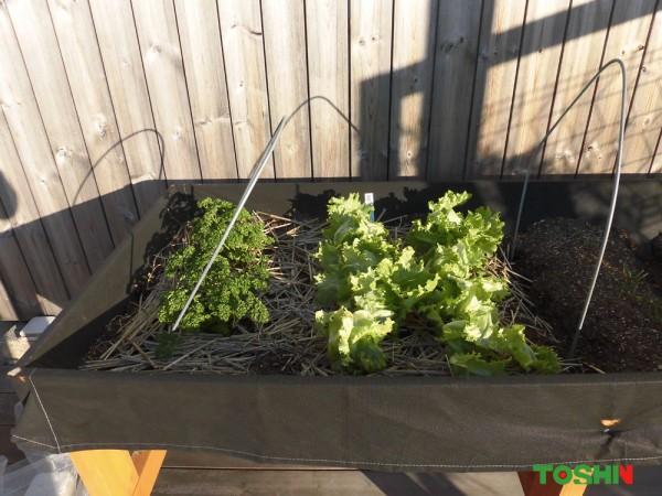 ベジトラグでレタスとパセリを収穫