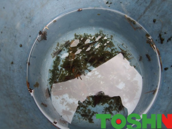 メダカの池のお掃除