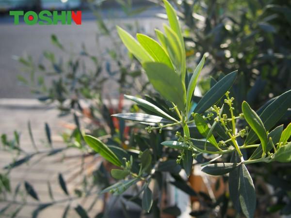 お庭に「オリーブ」の鉢植え