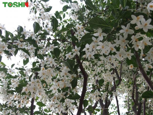 エゴノキの花が満開