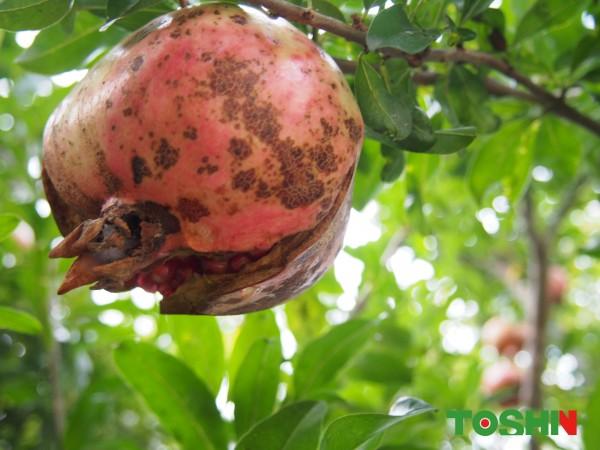 果樹「ザクロ」の実