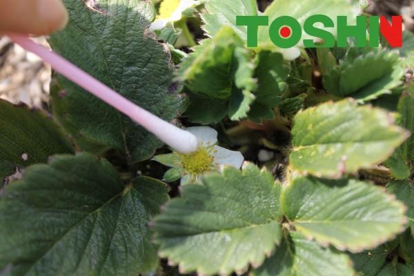 簡単家庭菜園 イチゴの人工授粉