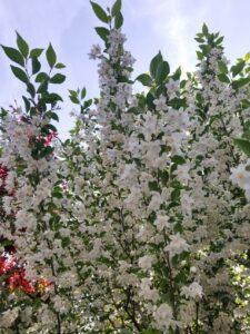 東神ハウス 展示場 満開のエゴノキの花