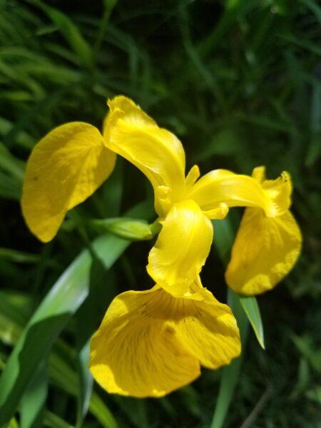 東神ハウス展示場 黄色のハナショウブ