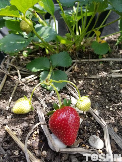 腰を屈めずに家庭菜園 ベジトラグで育てた苺